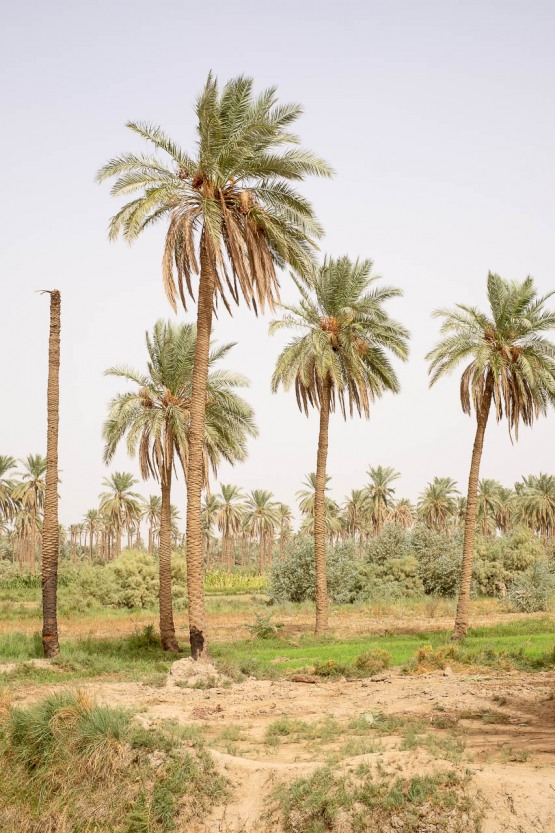 Palm grove in al-Hilla on the road parallel to the river Euphrates towards Kerbala, Iraq. Al-Hilla is the capital of Babylone Governorate and it's close to Babylon archeological site